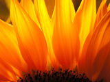 Sonnenblume Metalldrucke von Nadia Isakova