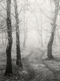 Birch Path Kunst på metal af Craig Roberts