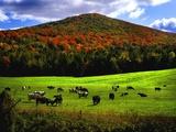 Vermont Cows Metal Print by Jody Miller