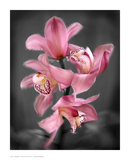 Cymbidium Orchid Bright Pink Print van Igor Maloratsky