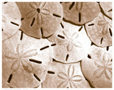 Sand Dollar Grouping Poster