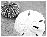 Sand Dollar and Sea Urchin Poster