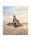 Two English Partridges, 1903 Giclée-Druck von Archibald Thorburn