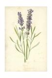 Lavender Giclee Print by Frederick Edward Hulme