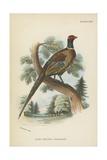 Ring-Necked Pheasant Lámina giclée por  English School