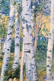 Birch Trees, 1910 Reproduction procédé giclée par Carl Larsson