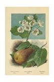 Pear-Blossom. Pear Reproduction procédé giclée par William Henry James Boot