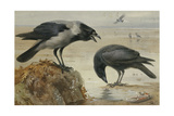 A Hooded Crow and a Carrion Crow, 1924 Giclée-tryk af Archibald Thorburn