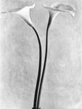 Calla Lilies, Mexico City, 1925 Fotografie-Druck von Tina Modotti
