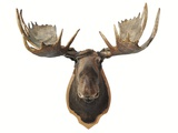 Canadian Taxidermy Moose Head Hunting Trophy, Mounted on an Oak Shield, Vancouver Stampa fotografica