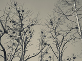 Cormorant Bird Colony on a Tree, Nida, Curonian Spit, Lithuania Reproduction photographique