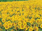 Sunflowers in Field Stampa fotografica di Green Light Collection