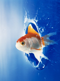 Orange, Yellow And White Fish Flying Through Water Splash Photographic Print by Green Light Collection
