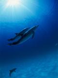Dolphins Swimming Underwater Fotografisk trykk av Green Light Collection
