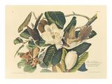 The Black Billed Cuckoo Reproduction giclée Premium par John James Audubon