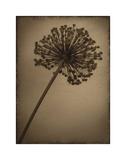 Allium I Giclee-trykk av Heather Jacks