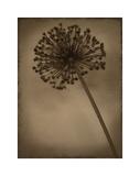 Allium II Giclee-trykk av Heather Jacks