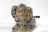 Leopard Plakater