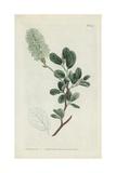 Botanical Engraving Reproduction procédé giclée par Sydenham Teast Edwards