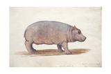 Obaysch, C.1850 Giclee-trykk av Joseph Wolf