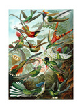 Example from the Family Trochilidae, 'Kunstformen Der Natur', 1899 Giclee Print by Ernst Haeckel