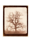 Oak Tree in Winter, Early 1840s Reproduction procédé giclée par William Henry Fox Talbot