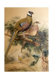 Bar-Tailed Pheasant (Phasianus Reevesi), 1852-54 Reproduction procédé giclée par Joseph Wolf