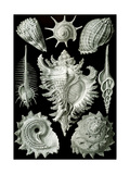 Examples of Prosranchia - Shells from a Variety of Prosobranch Gastropods, from 'Kunstformen Der… Gicléetryck av Ernst Haeckel