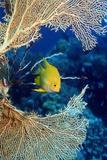 Golden Damselfish Reproduction photographique par Georgette Douwma