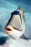 Arabian Picasso Triggerfish Fotografie-Druck von Georgette Douwma
