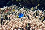 Palette Surgeonfish Over Coral Reproduction photographique par Georgette Douwma