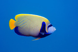 Emperor Angelfish Reproduction photographique Premium par Georgette Douwma