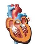 Human Heart Anatomy, Artwork Fotografie-Druck von Jose Antonio