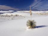 Soaptree Yucca (Yucca Elata) Fotoprint van Bob Gibbons