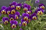 Pansies (Viola Sp.) Fotoprint van Bob Gibbons