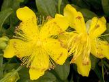 Rose-of-Sharon (Hypericum Calycinum) Fotoprint van Bob Gibbons