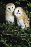 Barn Owls Photographic Print by David Aubrey