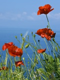 Common Poppy (Papaver Rhoeas) Fotoprint van Bob Gibbons