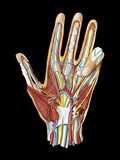 Hand Anatomy, Artwork Fotografie-Druck von Jose Antonio