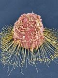 HeLa Cell, SEM Reproduction photographique par Thomas Deerinck