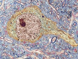 Hippocampus Neuron, TEM Reproduction photographique par Thomas Deerinck