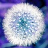Dandelion Seed Head Valokuvavedos tekijänä Victor De Schwanberg