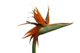 Strelitzia Reproduction photographique par Victor De Schwanberg