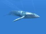 Baleine bleue Reproduction photographique par Christian Darkin
