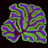 Cerebellum Structure, Light Micrograph Reproduction photographique par Thomas Deerinck