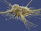 Pluripotent Stem Cell, SEM Photographic Print by Steve Gschmeissner
