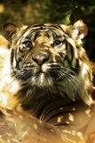 Siberian Tiger Photographic Print by Victor Habbick