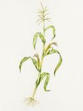 Maize (Zea Mays) Valokuvavedos tekijänä Lizzie Harper