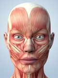 Muscular System of the Head Photographic Print by Roger Harris