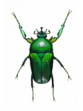 Neptunides Flower Beetle Photographic Print by Lawrence Lawry